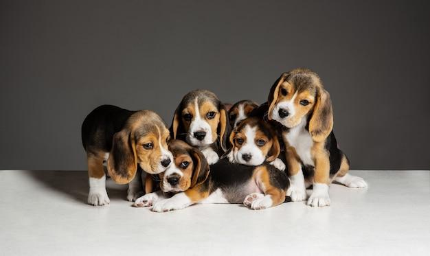 Beagle driekleurige puppy's poseren. leuke wit-bruin-zwarte hondjes of huisdieren die op grijze muur spelen. zie er verzorgd en speels uit. concept van beweging, beweging, actie. negatieve ruimte. Gratis Foto