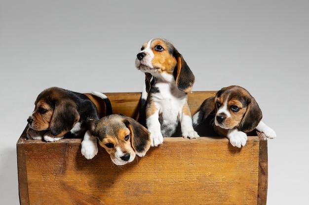 Beagle driekleurige pups poseren in houten kist. leuke hondjes of huisdieren die op witte achtergrond spelen.