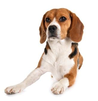 Beagle geïsoleerd
