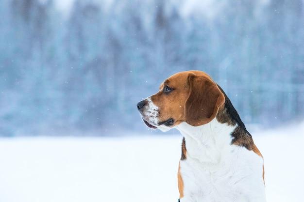 Beagle hond in de winter, staande op een weide