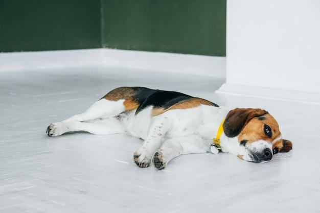 Beagle hond met een gele kraag slapen op een witte houten vloer. slaperige hond slapen en dromen. driekleurige hond.