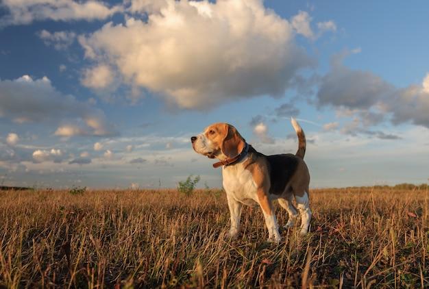 Beagle hond op een achtergrond van dichte wolken tijdens een wandeling over de natuur