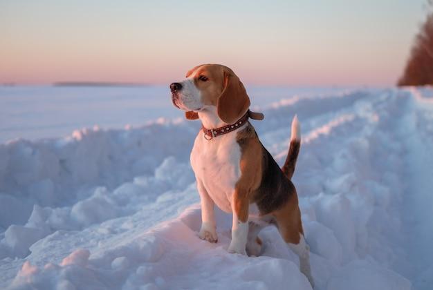 Beagle hond op een wandeling bij zonsondergang op een avond in maart