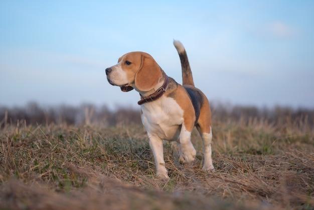 Beagle hond op een wandeling in de lenteavond bij zonsondergang