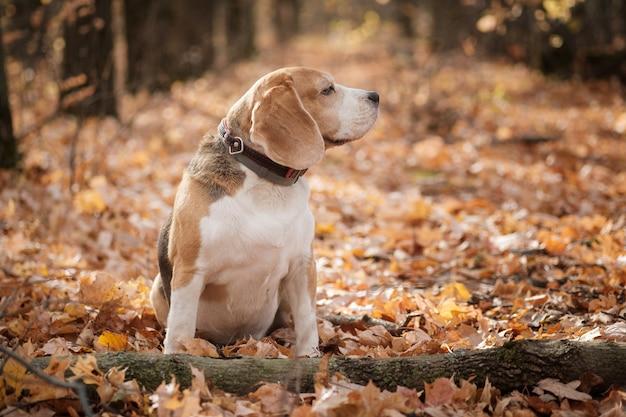 Beagle hond op een wandeling in het najaar park