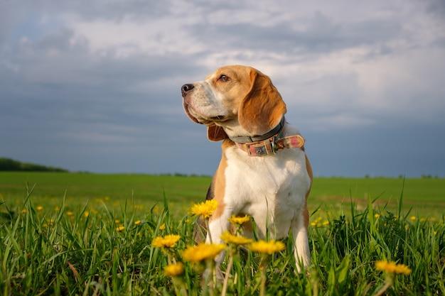 Beagle hond op een wandeling in het voorjaar op het veld met gele paardebloemen. mooi portret van beagle
