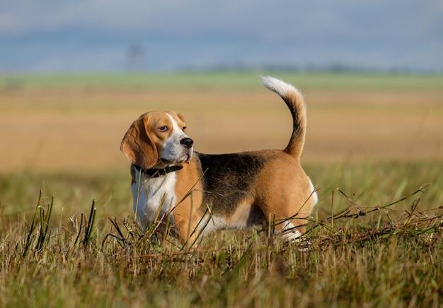 Beagle hond op een wandeling vroeg in de ochtend op een glooiend veld