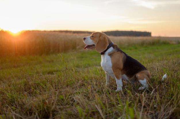 Beagle hond op een zomerse wandeling in de stralen van de ondergaande zon