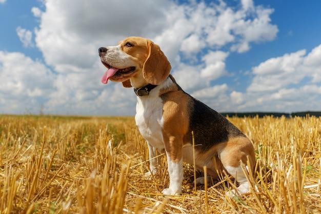 Beagle hond op stoppels tarweveld op een zonnige zomerdag