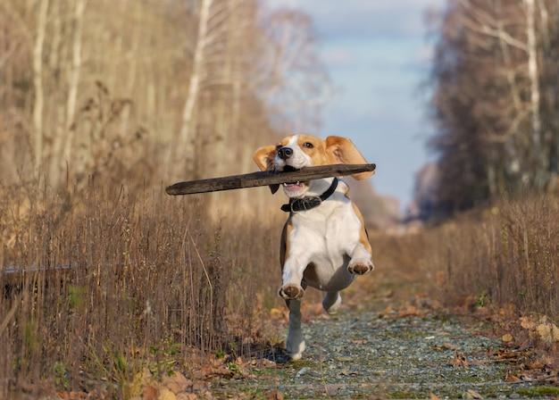 Beagle hond rondrennen en spelen met een stok in de herfst bos