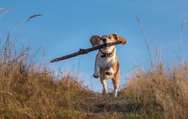 Beagle hond rondrennen en spelen met een stok in de herfst veld