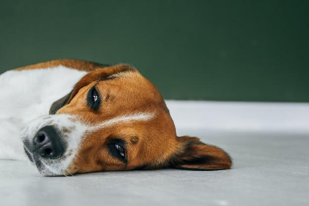 Beagle hond slapen op een witte houten vloer. slaperige hond slapen en dromen. driekleurige hond. kopiëren, lege ruimte voor tekst.