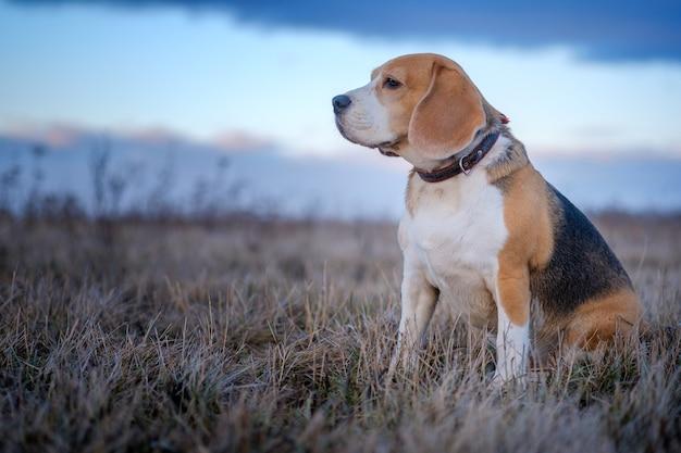 Beagle hond tijdens een wandeling op een lenteavond