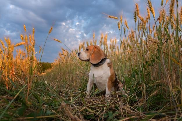 Beagle hond tussen de oren van rogge op een zomeravond bij zonsondergang