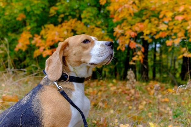 Beagle hond voor een wandeling in het bos