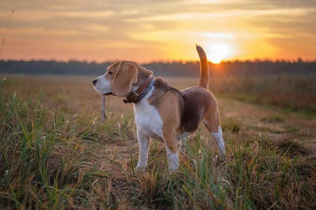 Beagle hond vroeg in de ochtend bij dageraad tijdens het wandelen