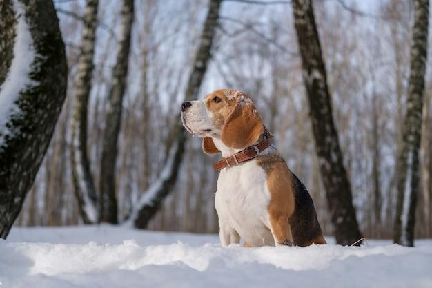 Beagle hond wandelen in het besneeuwde winterbos op zonnige winterdag