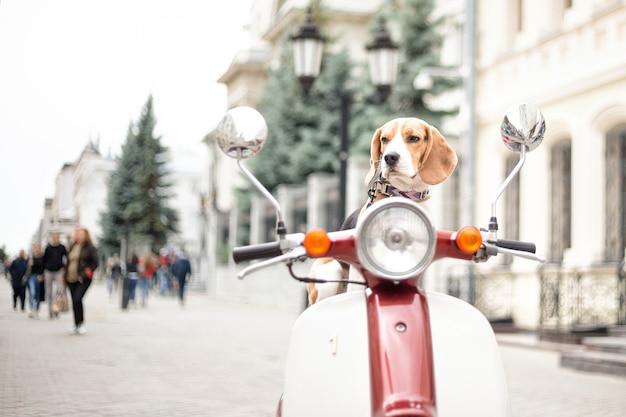 Beagle hond zit op een retro bromfiets tegen de achtergrond van een stadsstraat