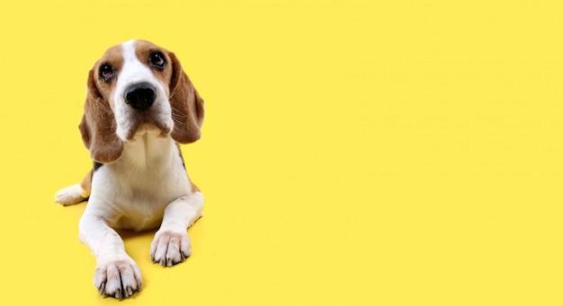 Beagle hond