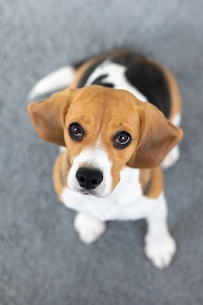 Beagle hondenkoekjes, tonghond thuis, huisdierenliefde, jachthondentraining, hondvriendelijke verzorging thuis, huisdierverzorging
