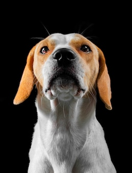 Beagle poseren in een fotostudio zitten met zwarte achtergrond