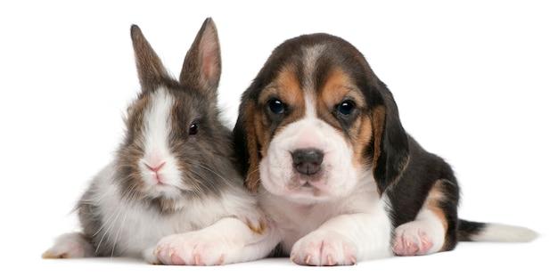 Beagle puppy, 1 maand oud, en een konijn