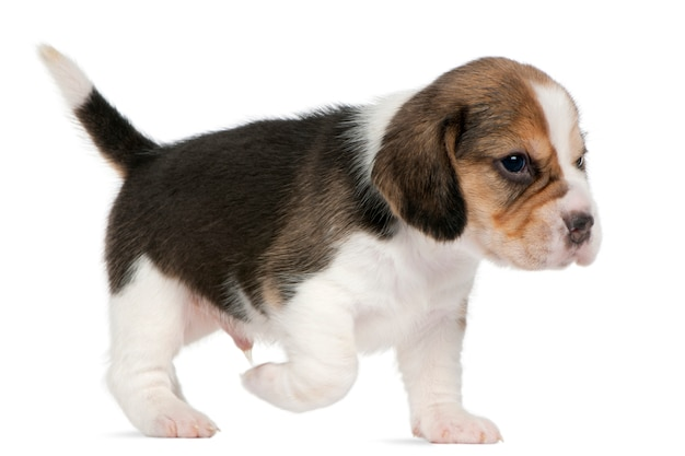 Beagle puppy, 1 maand oud, lopend