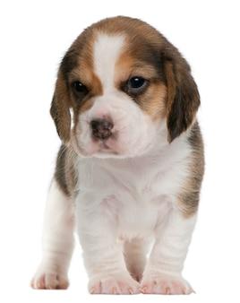 Beagle puppy, 1 maand oud, staand