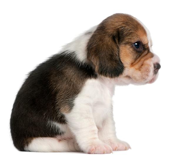 Beagle puppy, 1 maand oud, zittend
