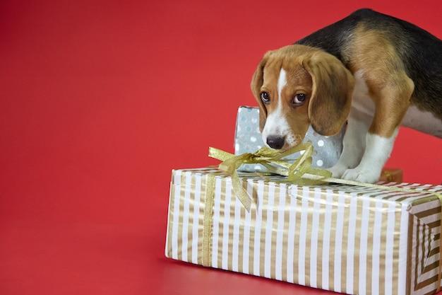Beagle puppy met schattige ogen op een rode achtergrond stond op met zijn poten op de geschenken