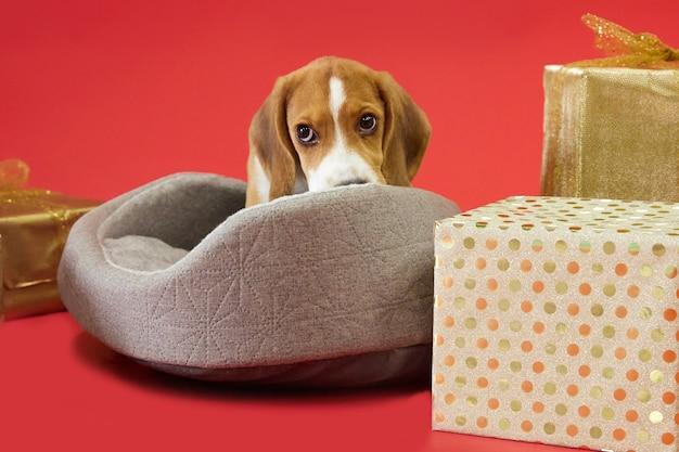 Beagle puppy op een rode achtergrond onder kerstcadeaus een hond als cadeau