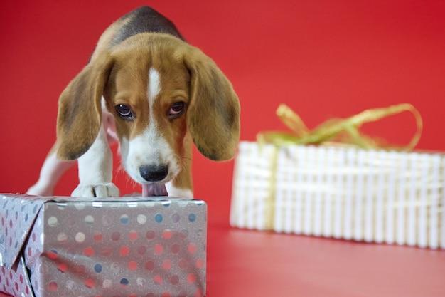 Beagle puppy op een rode achtergrond opent een geschenk met zijn hoektanden kijkend naar de camera