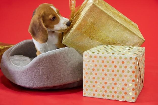 Beagle puppy op een rode achtergrond trekt een geschenkboog met zijn hoektanden kijkend naar de camera