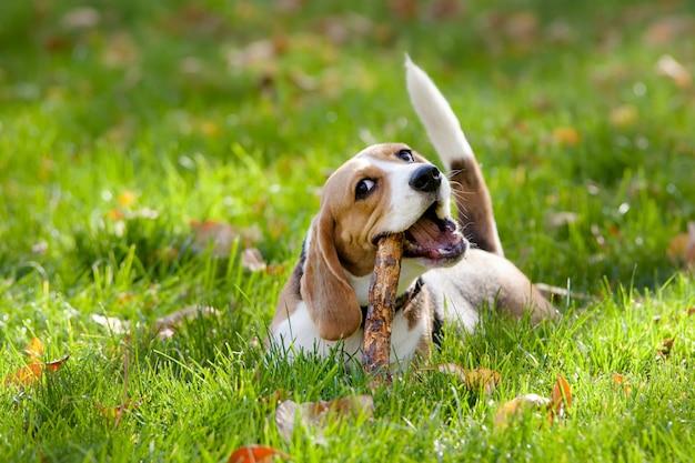 Beagle spelen in het groene gras