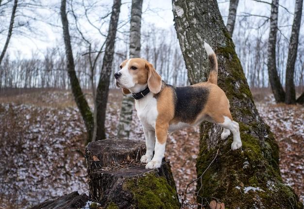 Beagle staat tijdens een wandeling op een boomstronk in het herfstpark