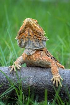 Bearded dragon hagedis in een struik