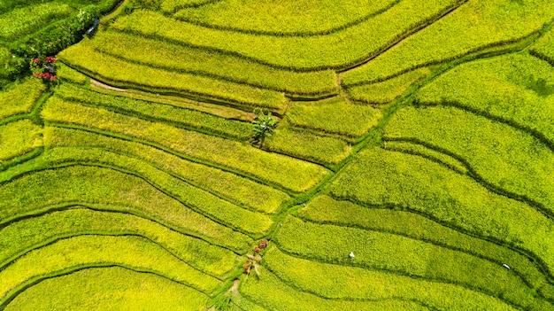 Beautifful rijstvelden in bali. beroemd om de rijstvelden in azië.