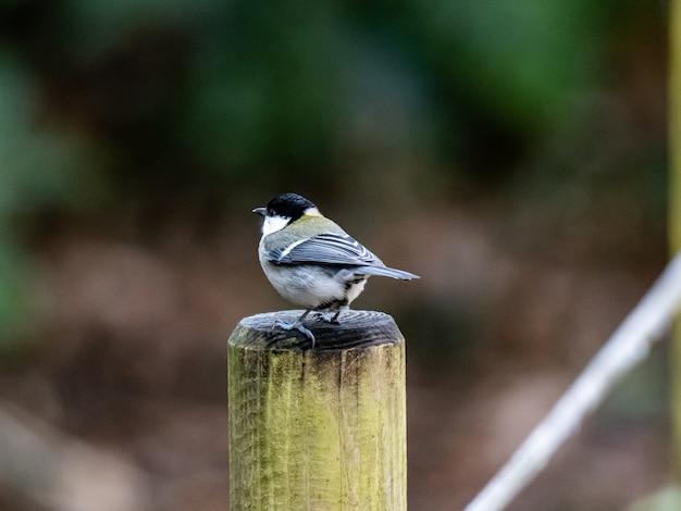 Beautiful schoot een japanse meesvogel die op een plank van hout in een bos staat