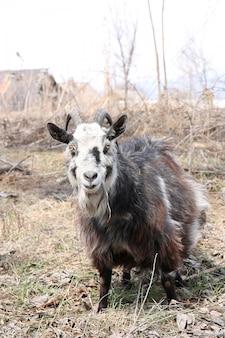 Bebaarde geit met hoorns kauwen gras