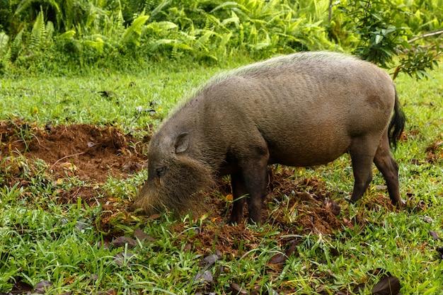 Bebaarde varken graaft de aarde