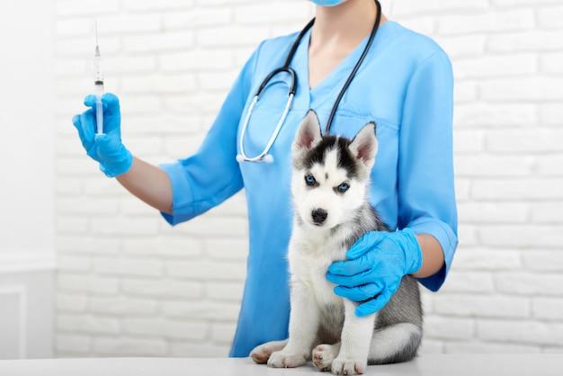 Bebouwd schot van een leuke siberische schor puppyzitting op de lijst op het dierenartskantoor dat op het medische concept van de inentingsprofessionaliteit medische injecteur wacht.