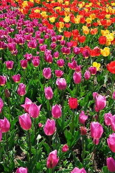 Bed van tulpen