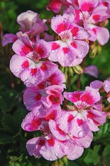 Beddengoed geranium roze bloemen in waterdruppels na regen