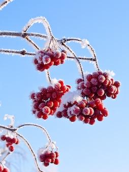 Bedekt met een ijzige tak van een viburnum tegen een blauwe lucht op een zonnige dag