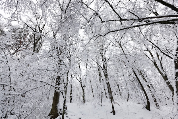 Bedekt met sneeuw en ijsbos in het winterseizoen, winterbos met bomen zonder gebladerte