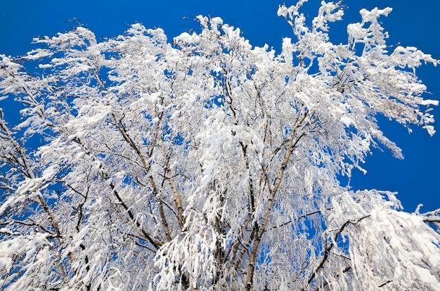 Bedekt met sneeuw loofbomen in de winter, witte sneeuw ligt overal, blauwe lucht en zonnig weer