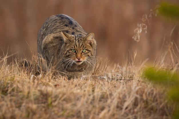 Bedreigde europese wilde kat sluipt met uitgestoken tong op droge weide in de herfst