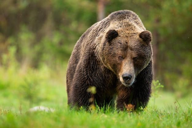 Bedreigend bruin beermannetje dat van vooraanzicht op weide in hoge tatra nadert