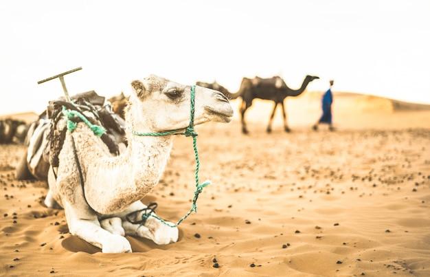Bedwongen dromedaris die na ritexcursie rusten in woestijn merzouga in marokko