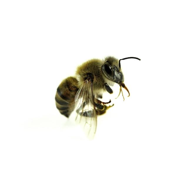 Bee geïsoleerd op het wit.
